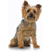 Silky Terrier Christmas Cards